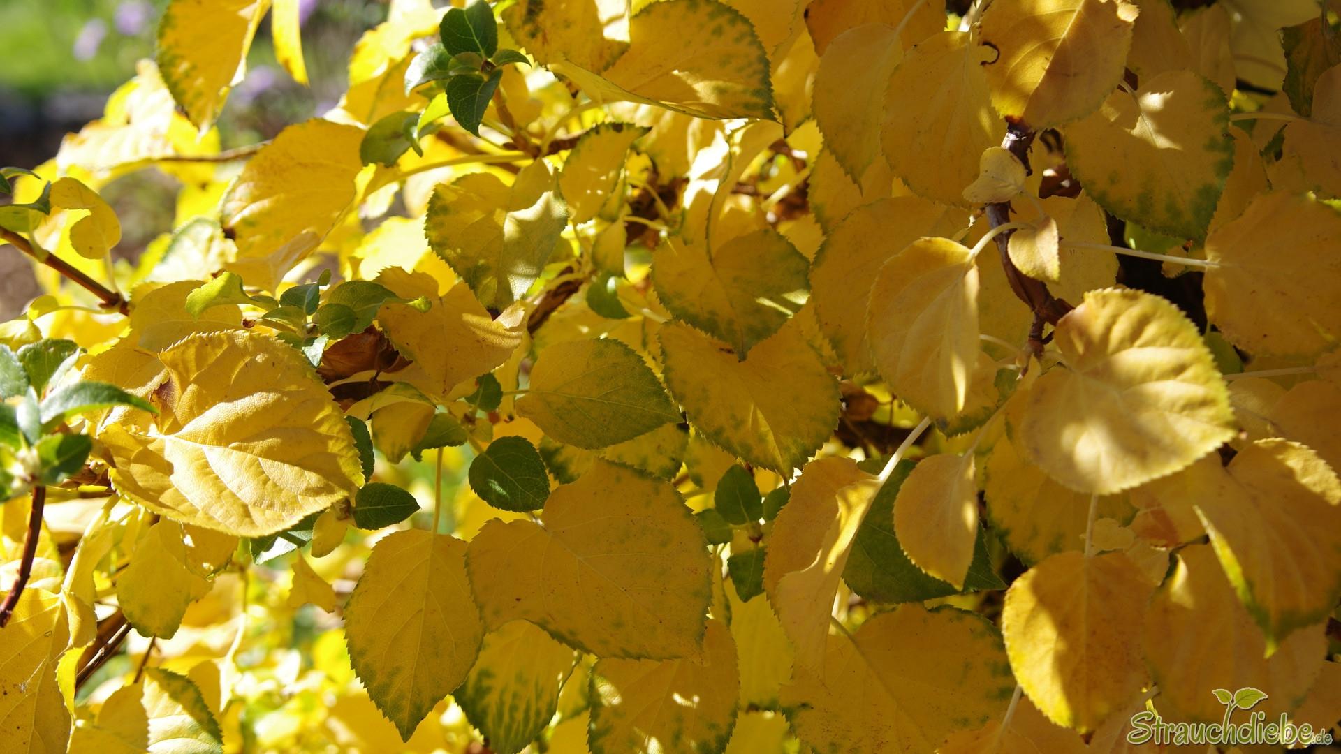 Kletterhortensie (Hydrangea petiolaris)