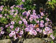 Glattblatt-Aster (Symphyotrichum novi-belgii)