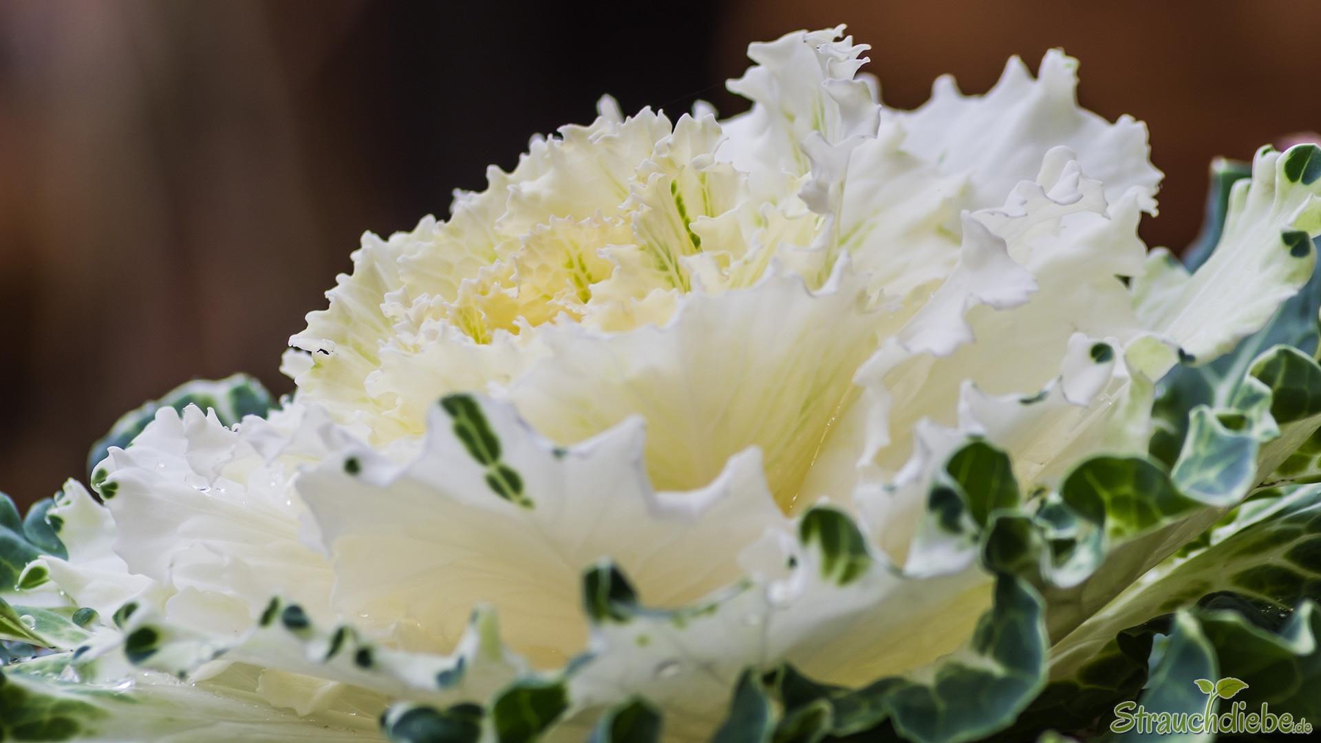 Zierkohl (Brassica oleracea var. acephala)