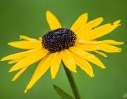 Sonnenhut (Rudbeckia Fulgida 'Goldsturm')