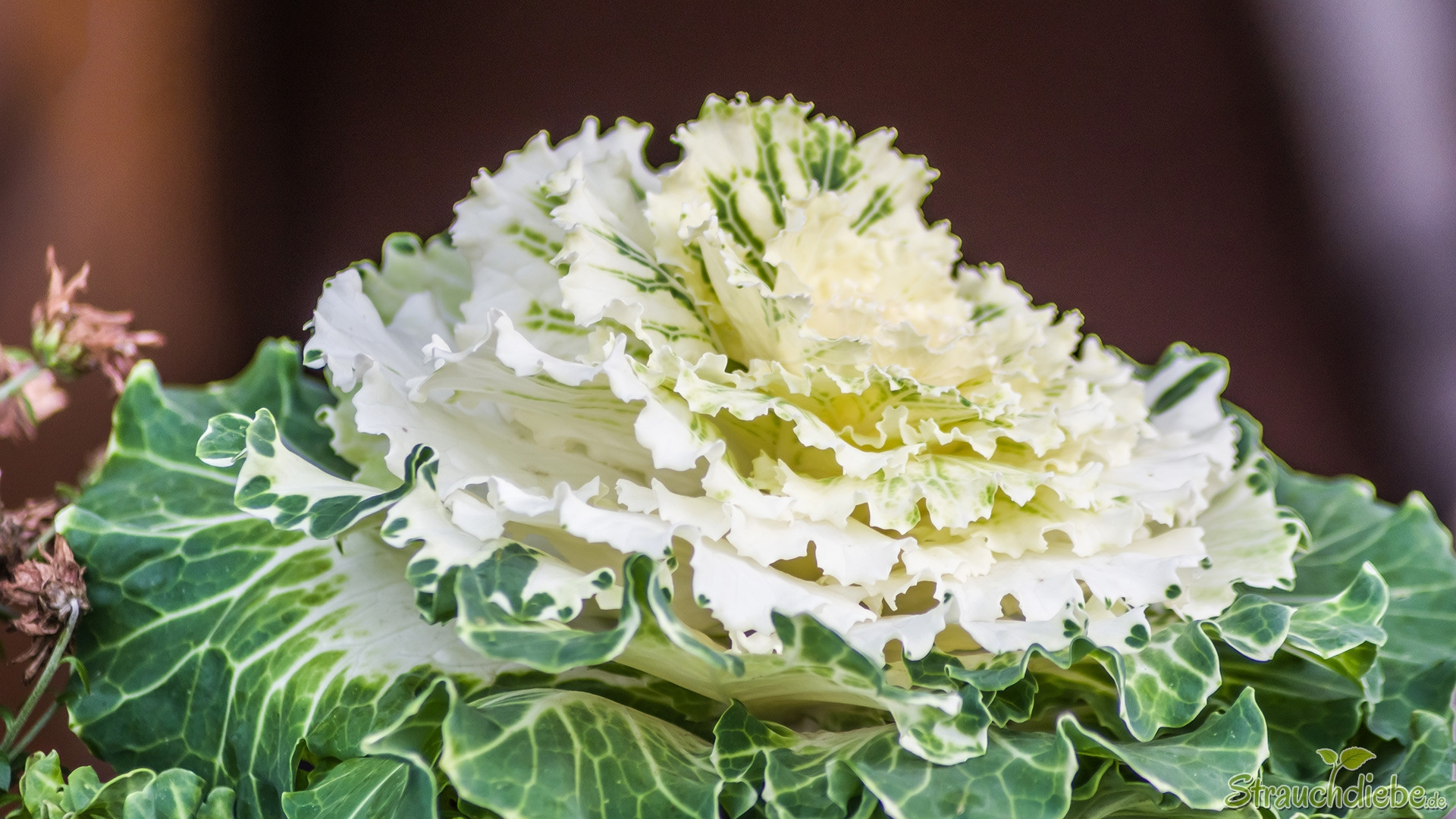 Weißer Zierkohl (Brassica oleracea var. acephala)