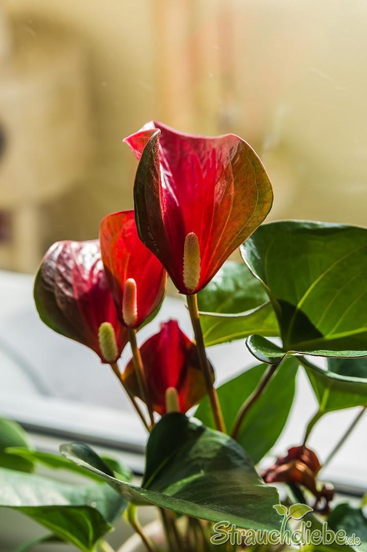 Flamingoblume (Anthurium)