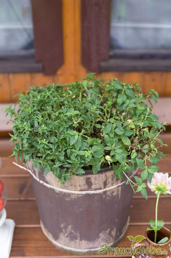 Fuchsie (Fuchsia Cultivars)