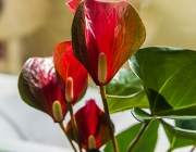 Flamingoblume (Anthurium)