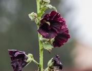 Stockrose (Alcea rosea 'Nigra')