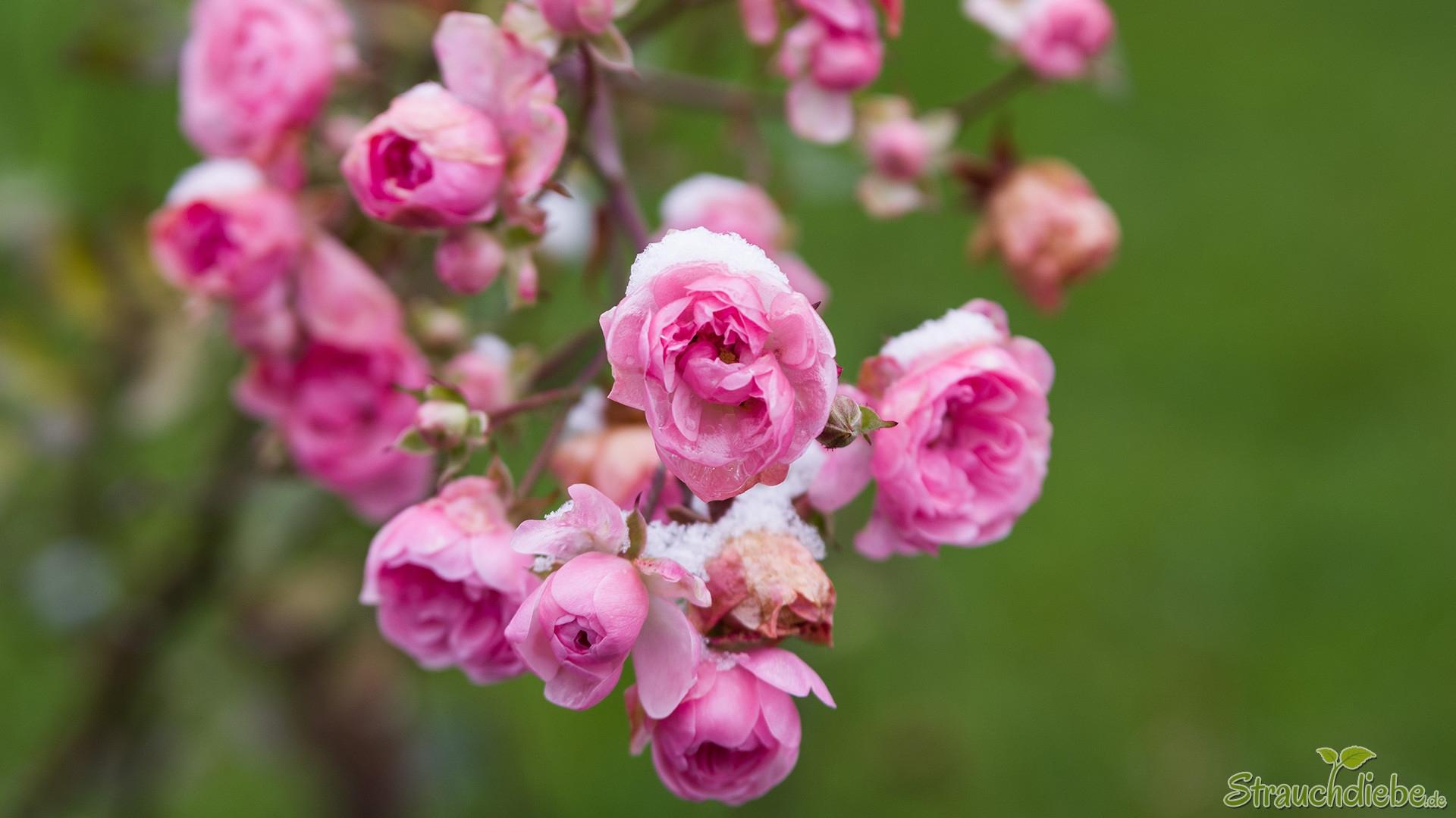 Rose (Rosea)