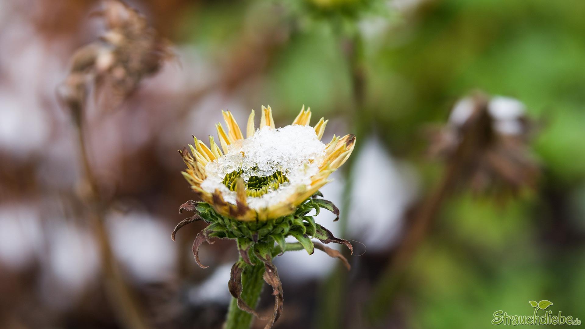 Schein-Sonnenhut (Echinacea purpurea 'Lemon Yellow')
