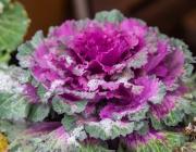 Zierkohl (Brassica)