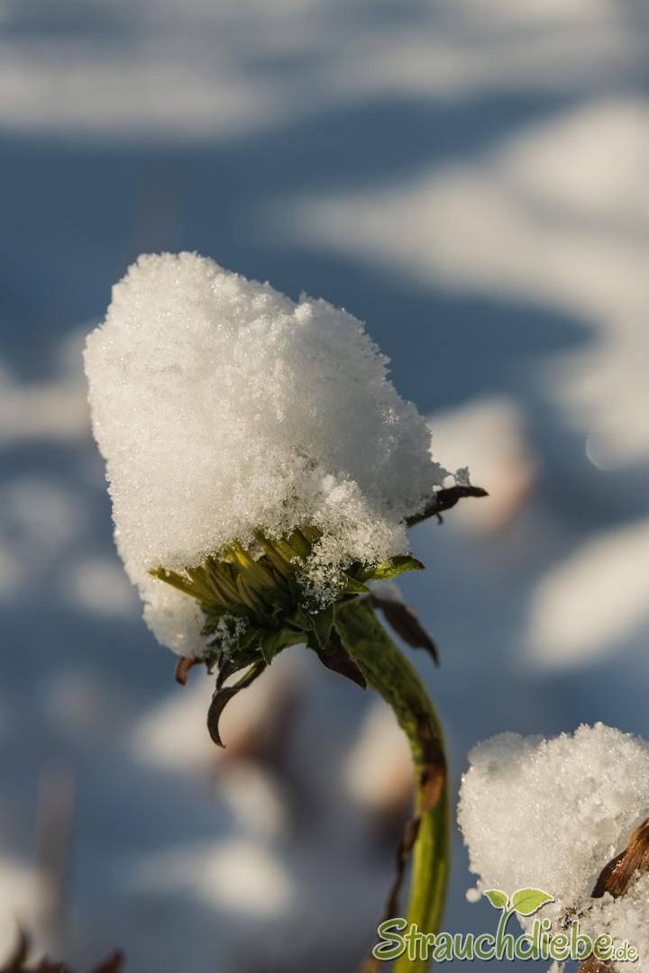 Schein-Sonnenhut (Echinacea)