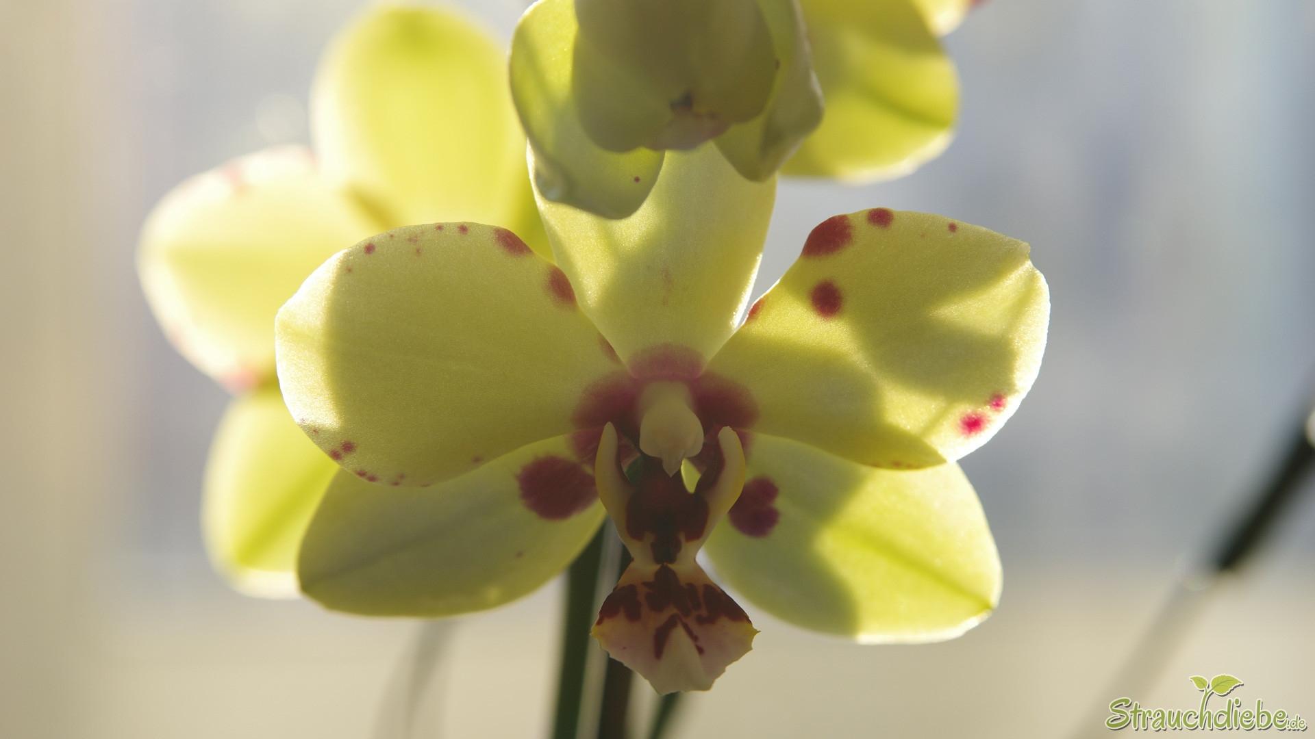 Schmetterlingsorchidee (Phalaenopsis)