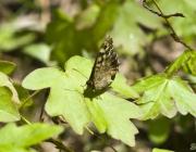 Waldbrettspiel (Pararge aegeria)