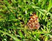 Landkärtchen (Araschnia levana f. levana)