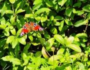 Tagpfauenauge (Aglais io)