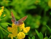 Gemeiner Bläuling (Polyommatus icarus)