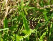 Landkärtchen (Araschnia levana f. prorsa)