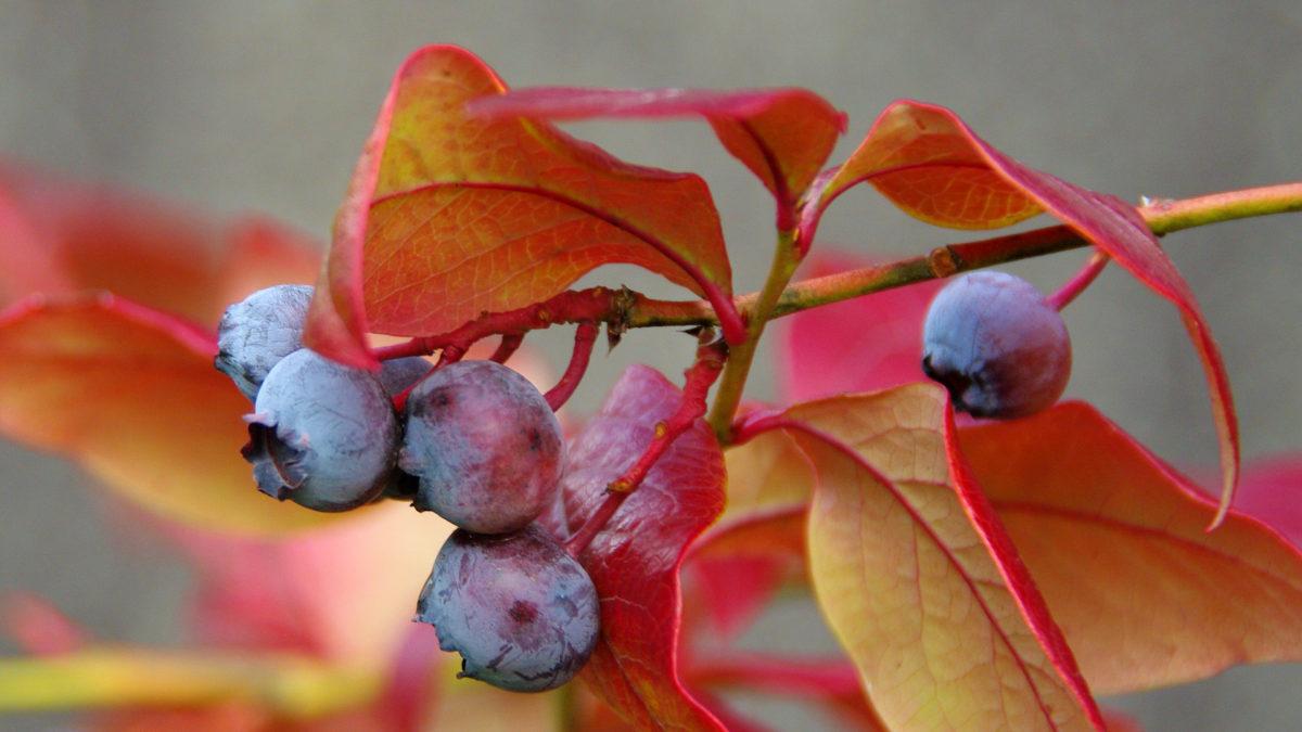 Heidelbeeren im Oktober