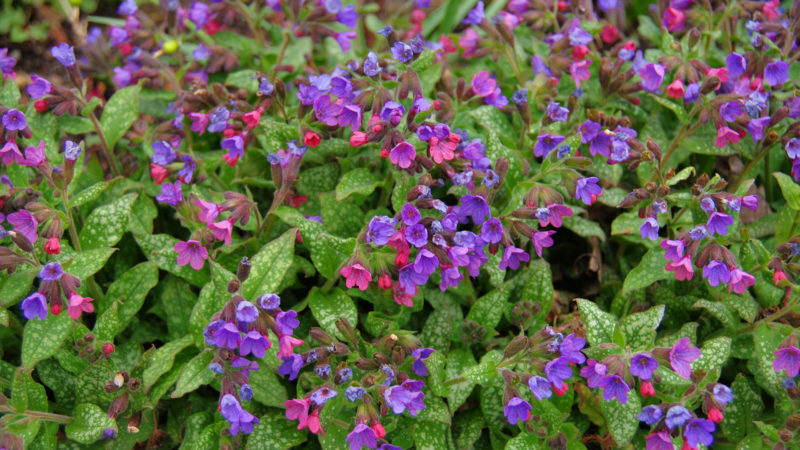 Gefleckte Lungenkraut (Pulmonaria officinalis)