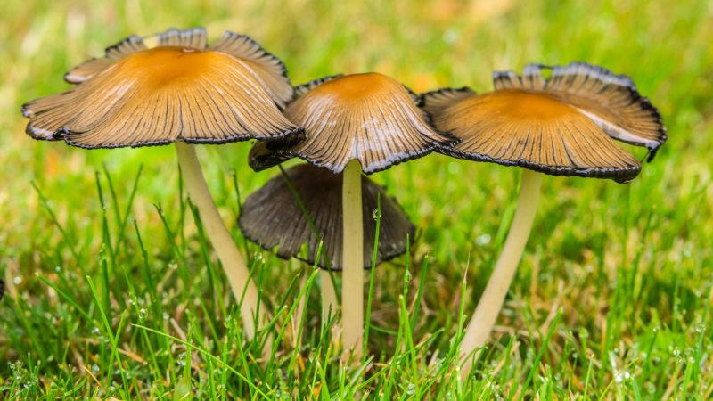 Gemeiner Glimmertintling (Coprinellus micaceus, Syn. Coprinus micaceus)
