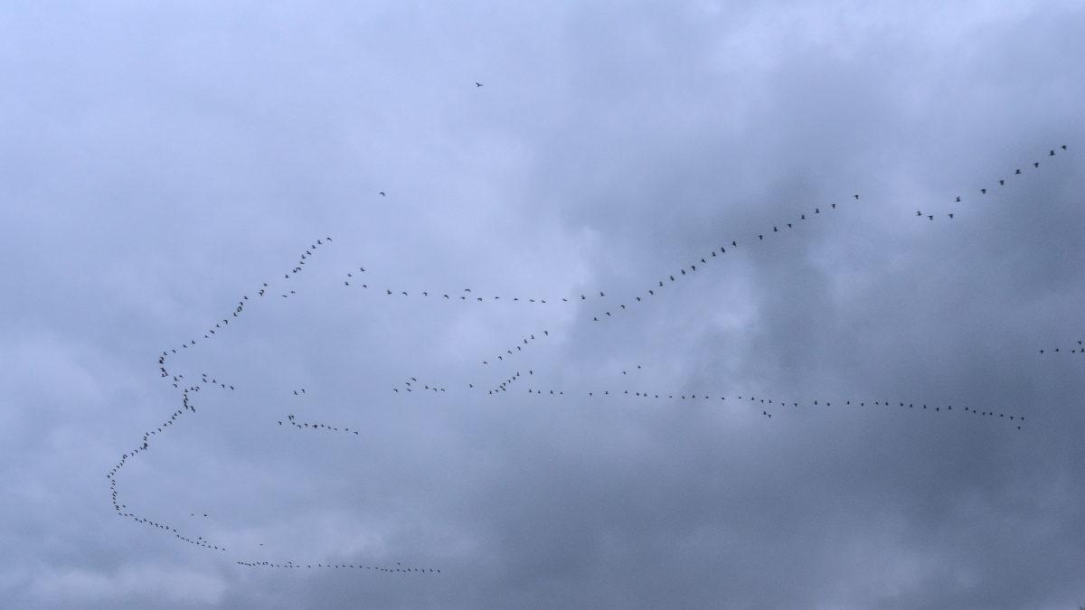 Zugvögel im November