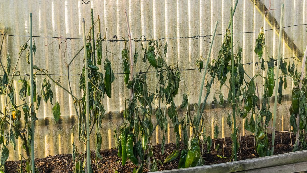 erfrorene Paprikapflanzen