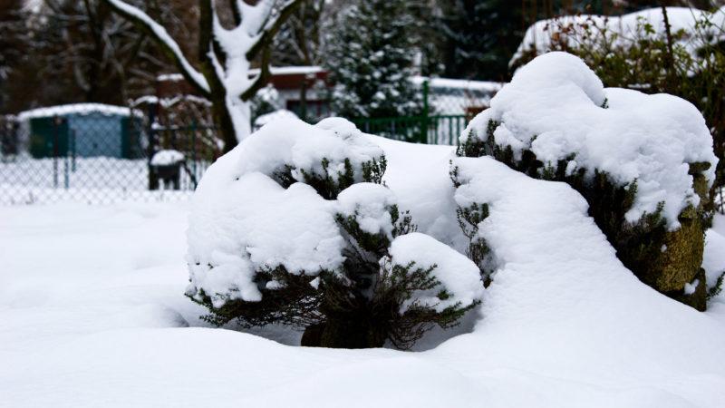 Thymian unter dicker Schneedecke