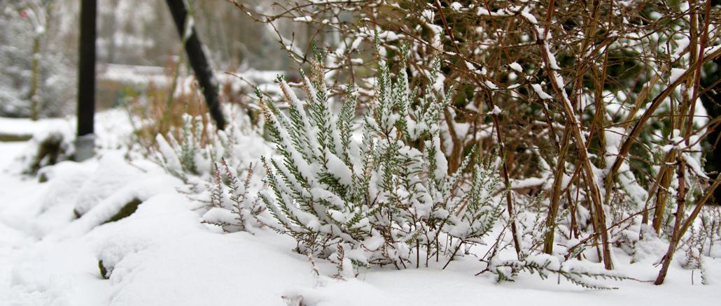 schneebedecktes Heidekraut