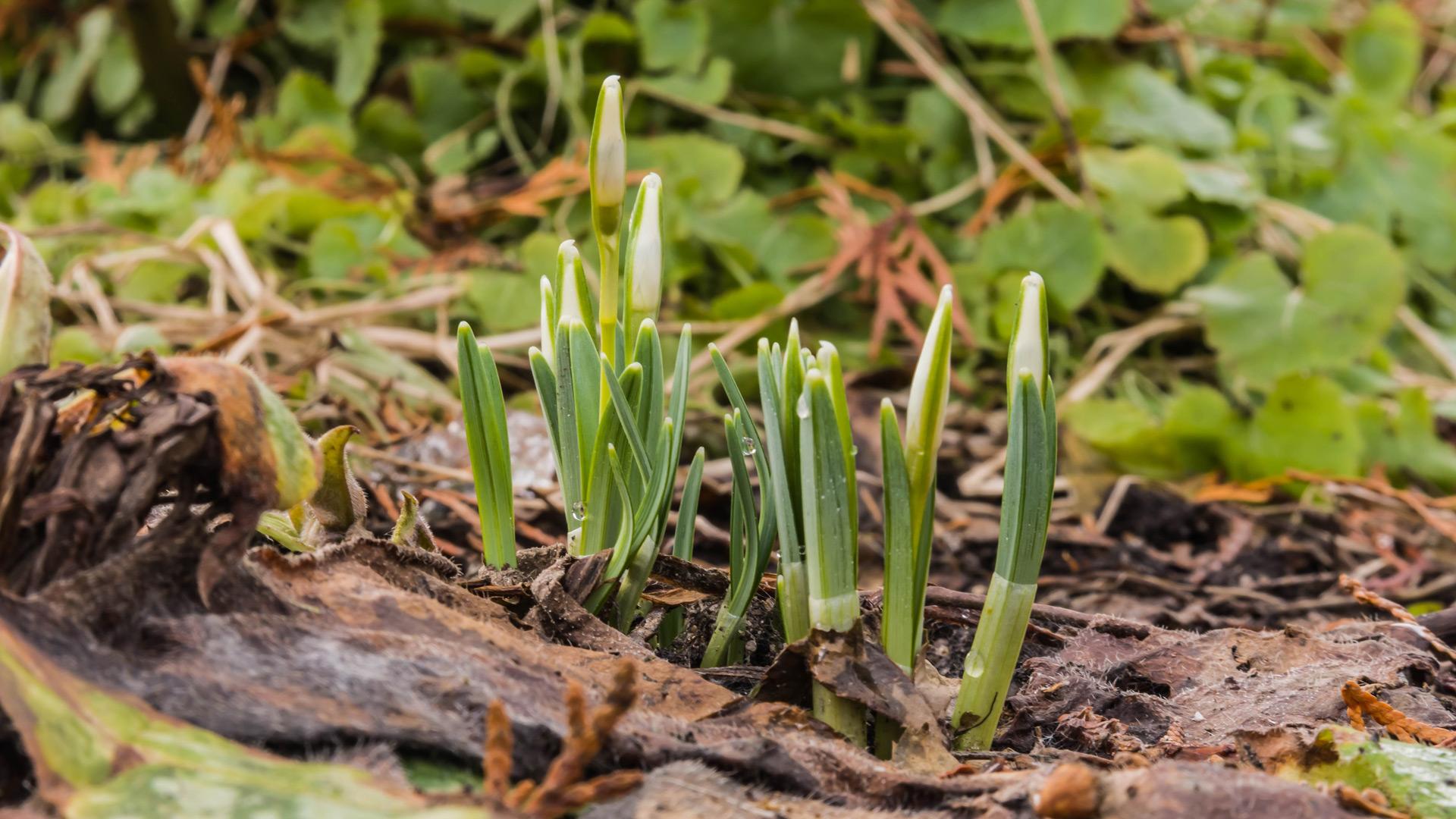 Kleine Schneeglöckchen (Galanthus nivalis)