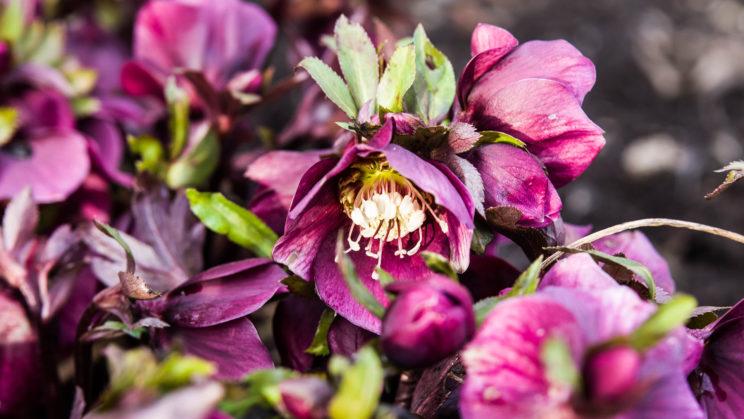 Lenzrose (Helleborus orientalis)