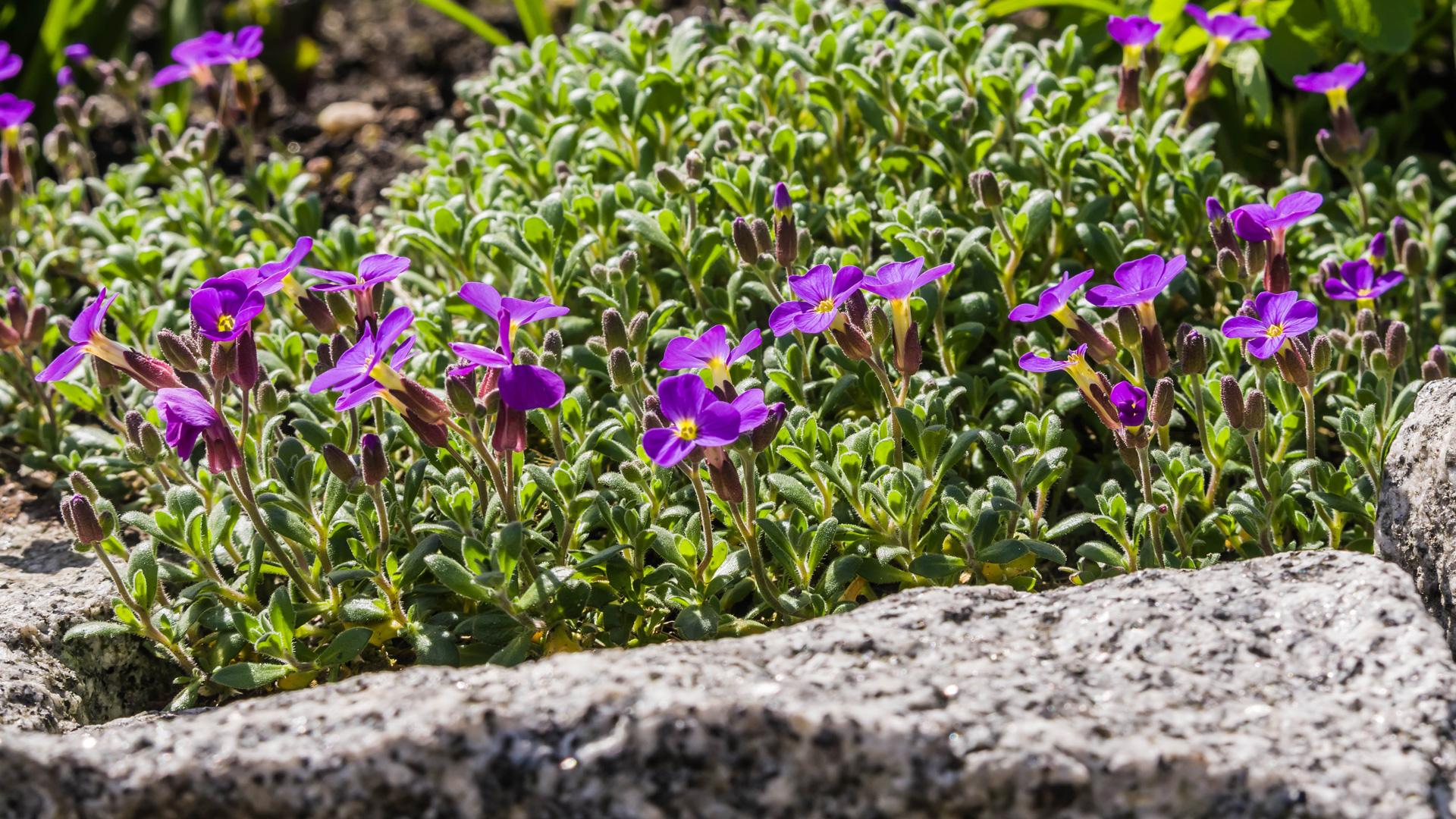 Blaukissen, violett (Aubrieta Kitty)