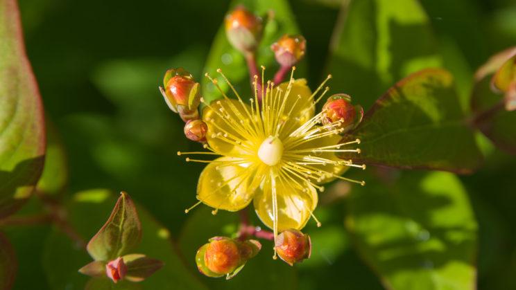 Johanniskraut (Hypericum)