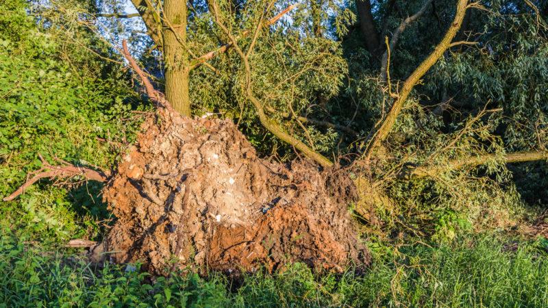 Umgestürzter Baum infolge des Unwetters am 22.06.2017