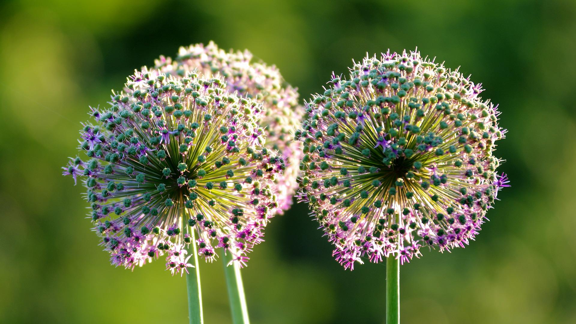 Zierlauch (Allium) - Anfang Juni abgeblüht