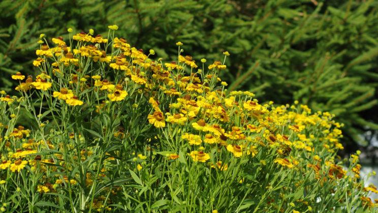Herbst-Sonnenbraut (Helenium autumnale)