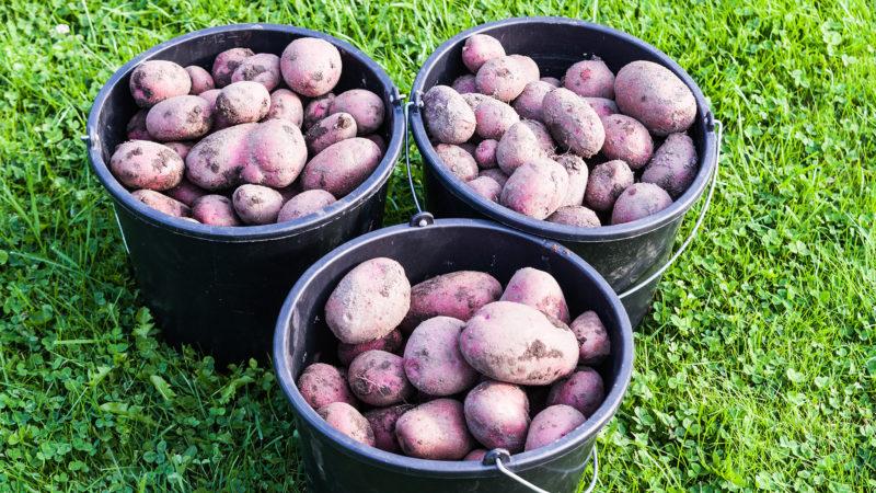 Kartoffelernte 2017